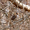 Harris's Sparrow (male)