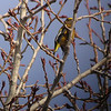Evening Grosbeak (Cocothraustes vespertinus)  A nomadic species, here eating Cottonwood buds in Cle Elum, WA