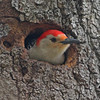 Red-bellied woodpecker peaking out of nest hole