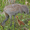 Sandhill crane with chick at Orlando Wetlands Park