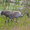 Sandhill cranes with chick at Orlando Wetlands Park