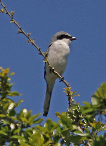 Perched loggerhead shrike in Blue Jacket Park