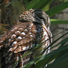 Adult barred owl in Mead Garden