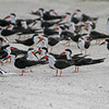 Flock of black skimmers at Merritt Island NWR