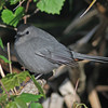Gray catbird at visitor center at Merritt Island NWR