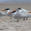Royal terns with sandwich tern in background