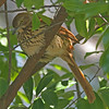 Brown thrasher in Orlando