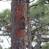 Nest hole of red-cockaded woodpecker in Three-Lake WMA