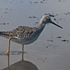 Greater yellowlegs in Merritt Island NWR