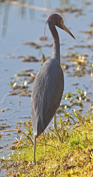 Little blue heron near Lake Balwin
