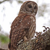 Barred owl in Seminole State Forest