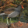 Common moorhen near Lake Balwin