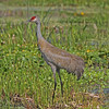 Sandhill crane at Orlando Wetlands Park