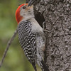 Red-bellied woodpecker at nest hole in Blue Jacket Park