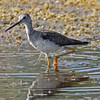 Greater yellowlegs at Merritt Island NWR