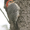 Red-bellied woodpecker near nest hole