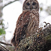 Perched barred owl in Seminole State forest