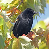 Red-winged blackbird near Lake Balwin
