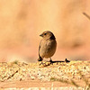 Sinai Rosefinch (female)
