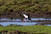 Black-necked Stilt IMG_0147