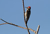 Ladderback Woodpecker IMG_1908