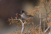 Dark-eyed Junco IMG_1791