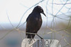 Common Grackle IMG_1997