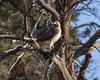 Red-tailed Hawk IMG_1384