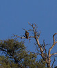 Red-tailed Hawk IMG_1366