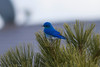 Mountain Bluebird IMG_1725