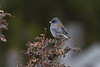 Dark-eyed Junco IMG_1795