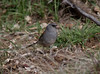 Dark-eyed Junco IMG_1286