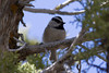 Mountain Chickadee IMG_1709