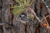 Mountain Chickadee IMG_1680