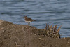 Killdeer IMG_1612