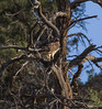 Red-tailed Hawk IMG_1378