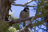 Mountain Chickadee IMG_1711