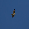 Red-tailed Hawk IMG_1362