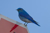 Mountain Bluebird IMG_1722