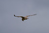 Hen Harrier IMG_9315