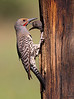 Northern flicker at nest site / colaptes auratus