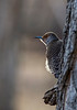 Looking out / northern flicker