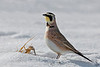 "Horned Lark in snow ""Eremophila alpestris"""