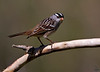 "White-crowned Sparrow, Colorado<br /> ""Zonotrichia leucophrys"""
