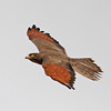 Grasshopper buzzard in flight