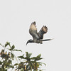 African grey hornbill in flight