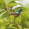 Olive-bellied sunbird, male