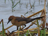 Boattail Grackle (b0752)