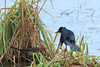Boattail Grackle (b0754)