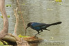 Boattail Grackle (b0757)